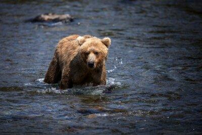 Obraz Aljašské medvěd hnědý brodit řeky Brooks při hledání lososa.