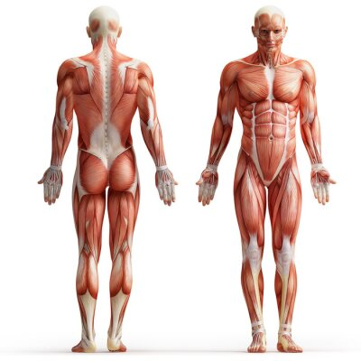 Obraz anatomie, svaly