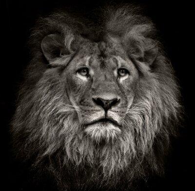 Obraz arogantní lev