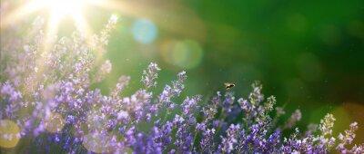 Obraz art Letní nebo jarní Krásná zahrada s květy levandulové