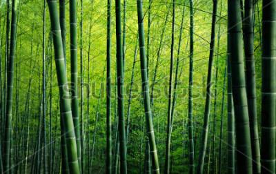 Obraz Bambusové lesní stromy Příroda koncepce