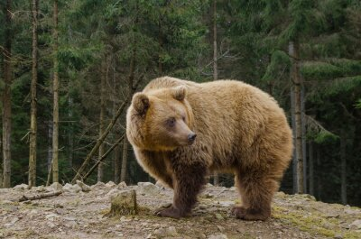 Obraz Bear hledá na jaře v lese