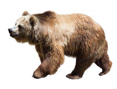 Obraz Bear. Izolované přes bílé