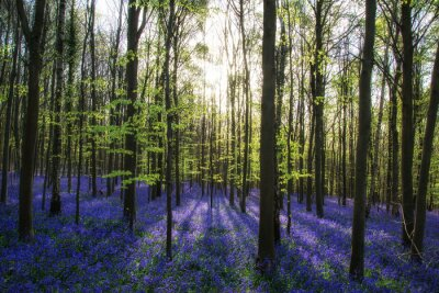 Obraz Beautiful morning in Spring bluebell forest with sun beams throu
