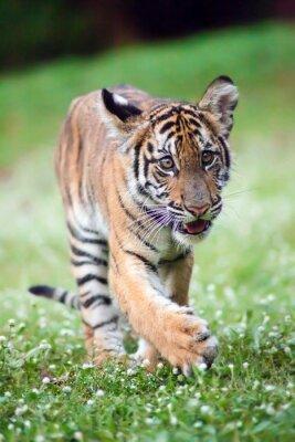 Obraz Bengálský tygr Dítě je chůze přes louku.
