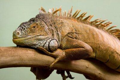 Obraz Big ještěrka spí na větvi close-up, izolované pozadí