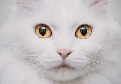 Obraz bílá kočka