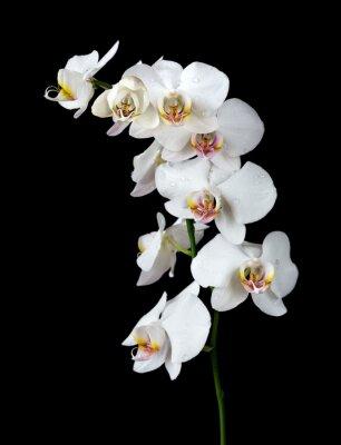 Obraz Bílá orchidej na černém pozadí