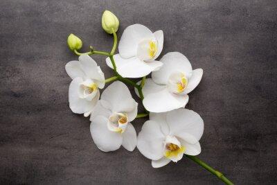 Obraz Bílá orchidej na šedém pozadí.