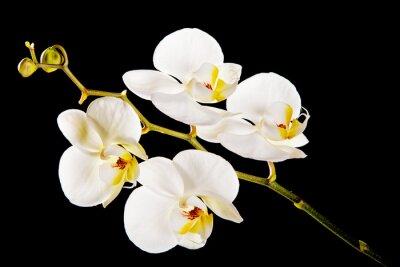 Obraz Bílá orchidej s žlutým středem