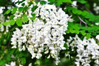 Bílé květy akácie