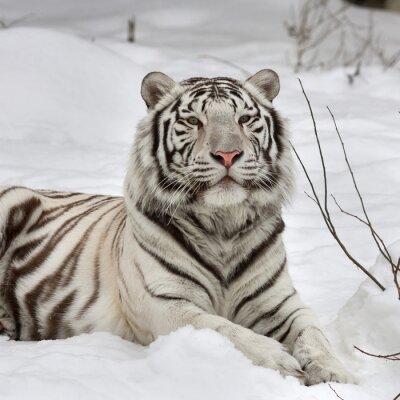 Obraz Bílý bengálský tygr, uklidni ležící na čerstvém sněhu. Nejkrásnější zvířat a velmi nebezpečné zvíře na světě. Tato těžká raptor je perla volně žijících živočichů. Zvíře tvář portrét.