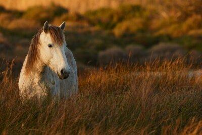 Obraz Bílý kůň Camargue