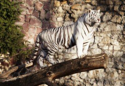 Obraz Bílý tygr