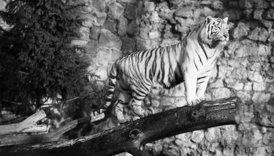 Obraz Bílý tygr stojící na kládě přes mezeru (v černé a bílé, stylu vintage)