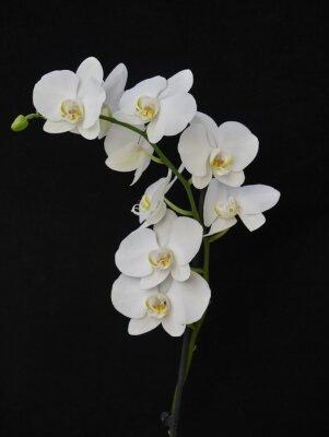 Obraz bledá orchidej zblízka na černém pozadí
