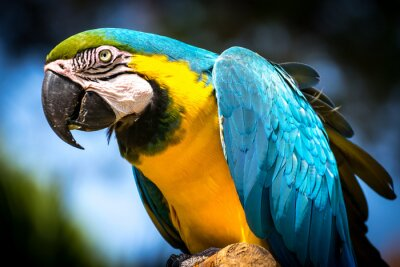 Obraz Blue-and-yellow macaw (Ara-ararauna)