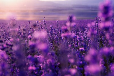 Obraz blurred summer background of wild grass and lavender flowers