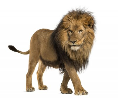 Obraz Boční pohled na Lví chůzi, Panthera leo, 10 let