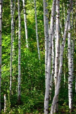 Obraz bříza les