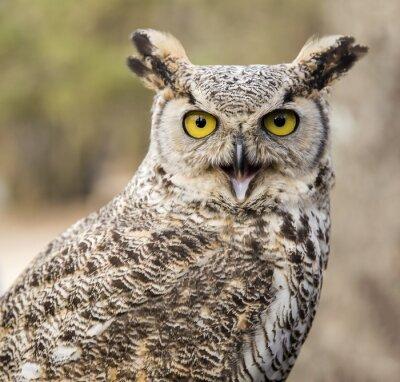 Obraz Bubo virginianus virginianus - Owl