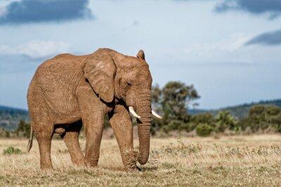 Obraz Bull Elephant