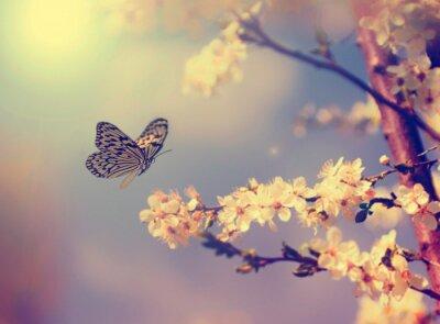 Obraz Butterfly a třešňového květu