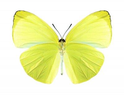 Obraz Butterfly Gandaca Harina (samec) (spodní)