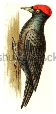 Obraz Černý datel, vintage vyryto ilustrace. Od Atlasu ptáků Evropy Deutch.