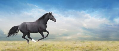 Obraz Černý kůň běží tryskem na poli plném