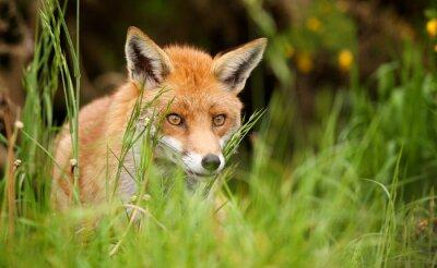 Obraz červená liška