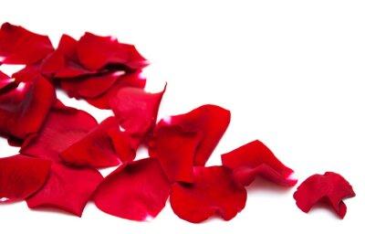 Obraz Červená růže lístků