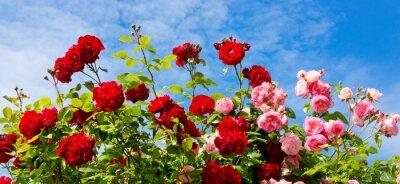 Obraz Červené a růžové růže horolezectví.