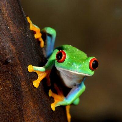 Obraz červených očí žába Listovnice červenooká v teráriu