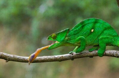 Obraz Chameleon při lovu hmyzu. Dlouhý jazyk chameleon. Madagaskar. Vynikající ukázkou. Close-up.