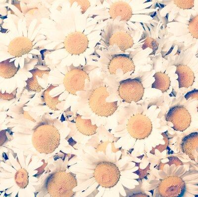 Obraz chamomiles květiny - vintage styl