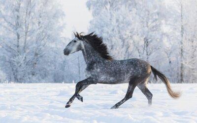 Obraz Čistokrevná kůň cválající přes zimní zasněženou louku
