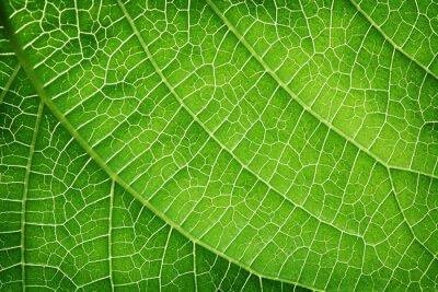 Obraz Closeup of a green leaf