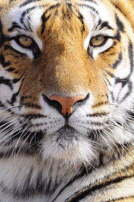 Obraz Closeup portrét záběr bengálského tygra