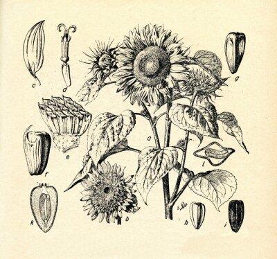 Obraz Common slunečnice (Helianthus annuus)