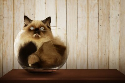Obraz Cute Perská kočka uvnitř skleněné mísy