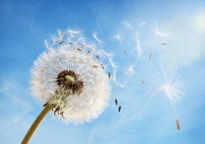 Obraz Dandelion clock dispersing seed