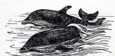 Obraz Delfín skákavý (Tursiops truncatus)