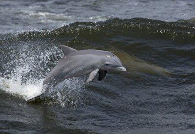 Obraz Delfín skákavý (Tursiops zkrátí)