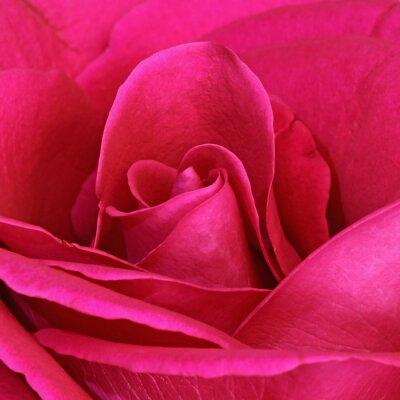Obraz Détail d'une růže