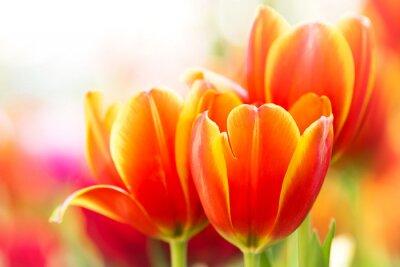Obraz Detailní oranžové tulipánové květiny v přírodě