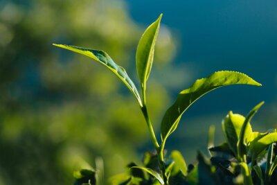 Obraz Detailní záběr na zelené čerstvé čajových lístků na plantáži.