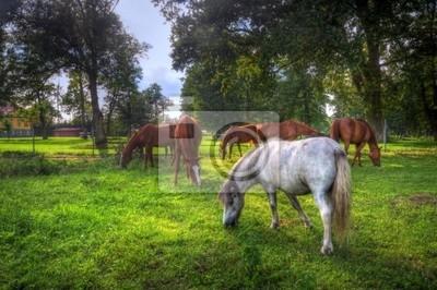 Divocí koně na poli