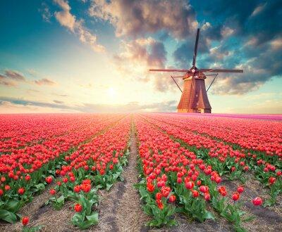 Obraz Dramatická jarní scéna na tulipánové farmě. Barevný západ slunce v Nizozemsku, Evropa.