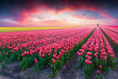 Obraz Dramatická scéna jaro na farmě tulipán